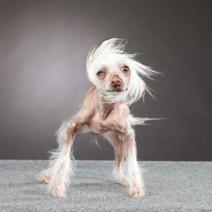 bald dog